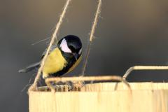 Great tit ( parus major ) looking for food Stock Photos