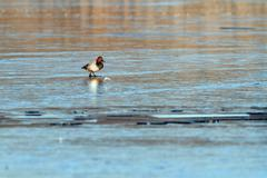 minimalist view with duck, common pochard - stock photo