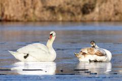 Mute swans ( cygnus olor ) Stock Photos