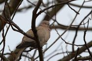 Stock Photo of turtledove ( streptopelia decaocto )