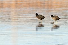 two birds ( common coots, fulica atra - stock photo