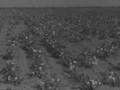 Cotton farming. circa 1946 Stock Footage