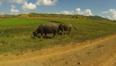 Asia buffalo Stock Footage