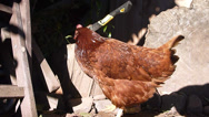 Stock Video Footage of Chicken and an Ax