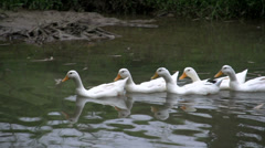 Ducks following each other in a lake in Mai Châu Stock Footage