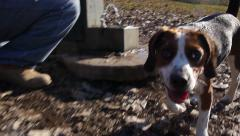 Beagle in Dog Park 3 - stock footage