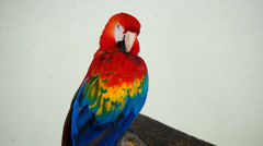 Beautiful Pet Parrot Stock Footage