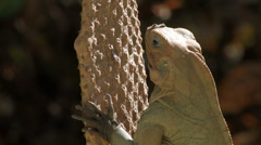 Iguana Basking in the Sun Stock Footage