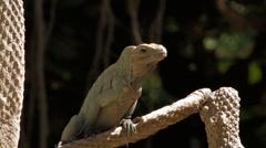 Iguana Basking in the Sun Stock Footage