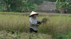 Vietnamese woman cutting hay in Mai Châu Stock Footage