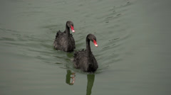 060 Sao Paulo, Ibirapuera park, 2 black swans in pond, close-up Stock Footage