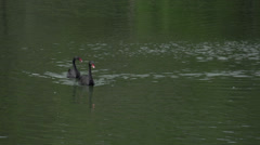 059 Sao Paulo, Ibirapuera park, 2 black swans in pond Stock Footage