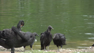 Stock Video Footage of 063 Sao Paulo, Ibirapuera park, vultures and black swans in pond