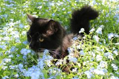 black cat in the bush of foget-me-not - stock photo