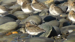 Flock of Dunlins resting / taking shelter from the wind in between stones - stock footage
