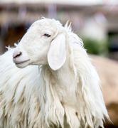 Closeup of long wool sheep - stock photo