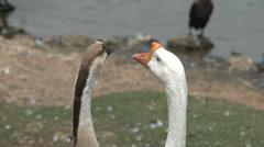 066 Sao Paulo, Ibirapuera park, 2 swans, close-up head Stock Footage