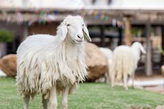 Long wool sheep standing still Stock Photos