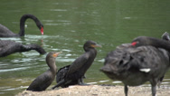 Stock Video Footage of 062 Sao Paulo, Ibirapuera park, a cormorant playing with his throat