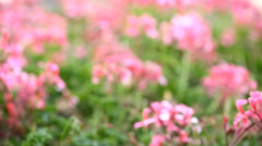 Dahlia flowers flowering in garden with sun setting time lapse Stock Footage