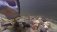 Stock Video Footage of Territorial Salmon