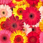 seamless pattern from vibrant gerbera flowers - stock illustration