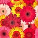 Stock Illustration of seamless pattern from vibrant gerbera flowers