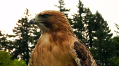 Hawk/Eagle stares at a distance. Stock Footage