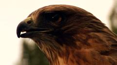 Hawk/Eagle twists his neck around. Stock Footage
