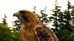 Hawk/Eagle stares with its head to the side. Stock Footage