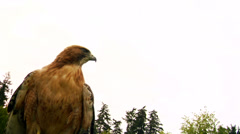 Hawk/Eagle in the sky staring. Stock Footage