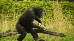 Monkey walking around with his oranges. - stock footage