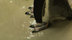Close up of a puguin's webbed foot Stock Footage