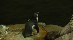A_cute little penguin turns to face the camera Stock Footage