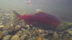 Salmon Run Stock Footage