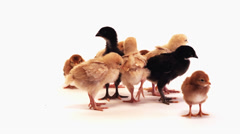 A group of baby chickens stand around each other Stock Footage