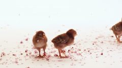 A group of baby chicks get cherry blossom petals rained down on them Stock Footage