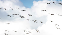 Snow Geese Flying, Landing in Farm Field #2 Stock Footage