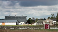 Stock Video Footage of Snow Geese gathered at Farm