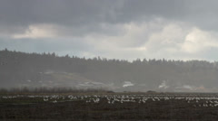 Dreary Day / Snow Geese / Farm / Hail Stock Footage