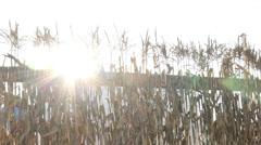 Cornstalks and Sun Flare Pan Left - stock footage