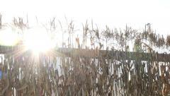 Cornstalks and Sun Flare Pan Right Stock Footage