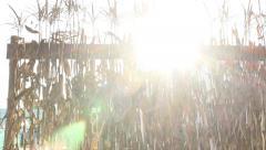 Tilt Down Sun Flare Cornstalks and Pumpkins Stock Footage