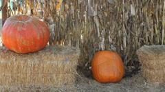 Pumpkins Cornstalks and Sun Flare Tilt Up Stock Footage