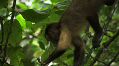 Monkey in the wild close up feeding Stock Footage