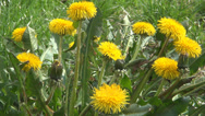 Stock Video Footage of Dandelions on Meadow, Group of Summer Wild Flowers on Field, Medicinal Plants