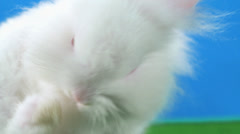 Cute bunny on blue back ground itches its side with green screen Stock Footage