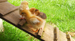 Baby chicks walk up a platform in a chicken coop. Medium shot - stock footage