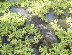 An american alligator swims Stock Photos