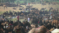 Stock Video Footage of Pushkar camel fair.